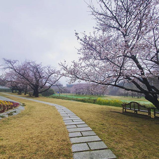 비온뒤 아침의 산책~~#신앙촌 #종합식당 #분수대 #벚꽃 #너무예쁨 #맑은공기 #조으다 #코로나청정구역 #건강한아침